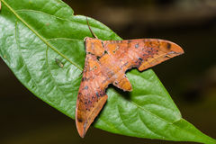 Cinnamon gliding hawkmoth on green leaf Royalty Free Stock Photos