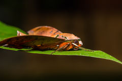 Cinnamon gliding hawkmoth on green leaf Royalty Free Stock Photography