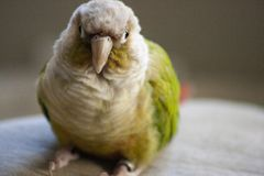 Cinnamon Green Cheek Conure Parrot. A cinnamon green cheek conure, a small type of parrot, sitting on a neutral colored fabric stock photo