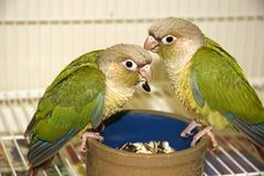 Cinnamon Green Cheek Conures. 2 Cinnamon Green Cheek Conures Eating their Dinner Stock Image