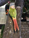 Cinnamon green-cheeked conure bird. A cute Cinnamon green-cheeked conure bird royalty free stock photos