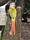Cinnamon green-cheeked conure bird. A cute Cinnamon green-cheeked conure bird royalty free stock photography