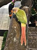 Cinnamon green-cheeked conure bird. A cute Cinnamon green-cheeked conure bird stock photos