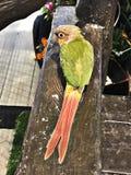 Cinnamon green-cheeked conure bird. A cute Cinnamon green-cheeked conure bird stock photo