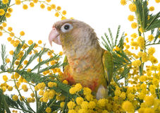 Cinnamon green-cheeked conure Stock Photo