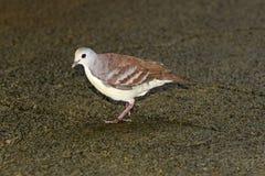 Cinnamon ground-dove, Gallicolumba rufigula Royalty Free Stock Photo