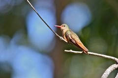 Cinnamon Hummingbird Royalty Free Stock Image