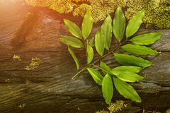 Cinnamon Leaf, Tropical Leaf, Tropical Seasoning, Tropical Ingrediant, Wooden Table. Fresh Ingredient or Seasoning is Good Food for Human Life, They are giving Royalty Free Stock Photography