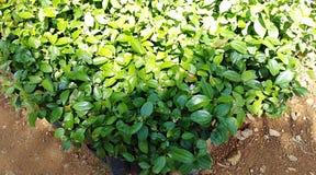 Cinnamon plant nursery with baby plants stock photos