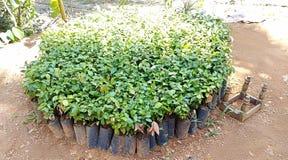 Cinnamon plant nursery with baby plants stock image