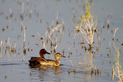 Cinnamon Teal, Anas cyanoptera Royalty Free Stock Images