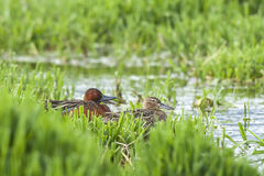 Cinnamon Teal couple. Stock Images