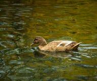 Cinnamon Teal Dabbling Duck Stock Image