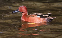 Cinnamon Teal Duck Drake Royalty Free Stock Photos