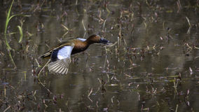 Cinnamon Teal Duck Royalty Free Stock Photo