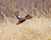 Cinnamon Teal in flight Royalty Free Stock Photography