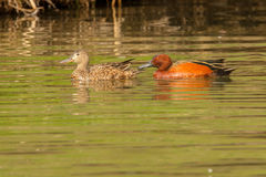 Cinnamon Teal Pair Royalty Free Stock Image