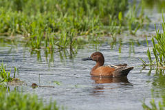 Cinnamon Teal in water. Royalty Free Stock Photography