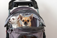 Cinnamon and white  Chihuahua are sitting in comfortable pet str Stock Photos