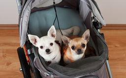 Cinnamon and white  Chihuahua are sitting in comfortable pet str Royalty Free Stock Image