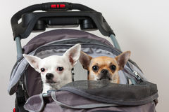 Cinnamon and white  Chihuahua are sitting in comfortable pet str Royalty Free Stock Photography