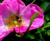 Cinorrodi (canina del rosa) Fotografia Stock
