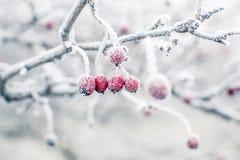 Cinorrodi congelati Immagine Stock Libera da Diritti