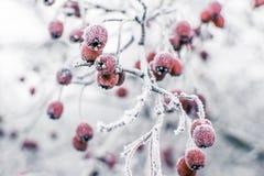 Cinorrodi congelati Fotografia Stock