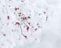 Cinorrodi luminosi di inverno ghiacciato Fotografia Stock