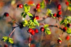 Cinorrodi maturi nella foresta Fotografie Stock