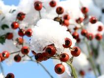 Cinorrodi nella neve Immagine Stock