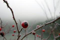 Cinorrodi rossi macro nell'inverno Fotografie Stock Libere da Diritti