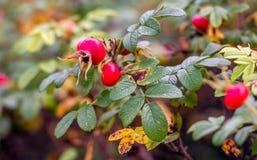 Cinorrodi rossi nella stagione di caduta Fotografie Stock Libere da Diritti