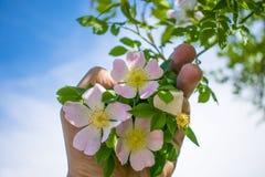 Cinorrodi sboccianti del bello fiore contro la ghiottoneria del cielo blu Fotografia Stock Libera da Diritti