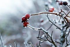 Cinorrodi sotto il ghiaccio Fotografie Stock