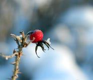 Cinorrodonte congelato Fotografia Stock