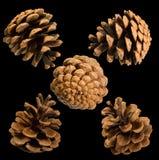 Cinq cônes de pin criméen (pallasiana de pinus) Photo libre de droits