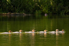 Cinq canards Image stock