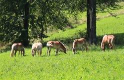 Cinq chevaux frôlant dans le pré vert photos libres de droits