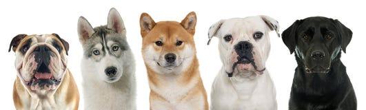 Cinq chiens de race photo libre de droits