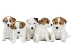 Cinq chiots Jack Russell Terrier photos stock