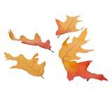 Cinq feuilles d'automne d'isolement Photographie stock