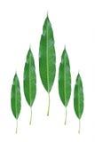 cinq feuilles de mangue d'isolement sur le blanc Photos stock