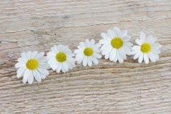 Cinq fleurs de camomille Photographie stock libre de droits