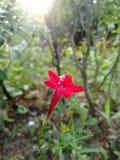 Cinq fleurs de Rose d'étoile image stock