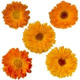 Cinq fleurs de souci Photos stock