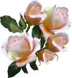 Cinq grandes roses rose-clair sur le blanc Photographie stock libre de droits