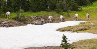grands moutons sauvages de klaxon Images libres de droits