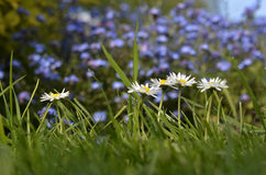Cinq marguerites Photo stock