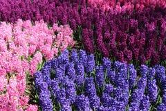 Cinq nuances de lilas, geocynts Image libre de droits
